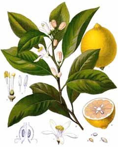 The Lemon Plant